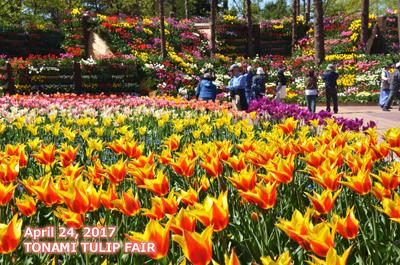 となみチューリップフェア花の大谷前のチューリップ写真