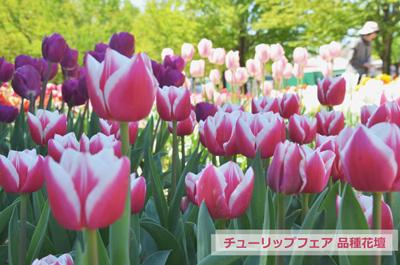 となみチューリップフェア品種花壇のチューリップ写真
