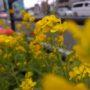 なないろレター№29 かごしまの色~菜の花色~